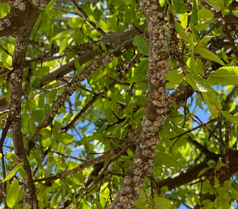 How To Get Rid of Scale Insects On Your Trees