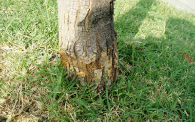 Most Common Tree Mistakes In West Texas